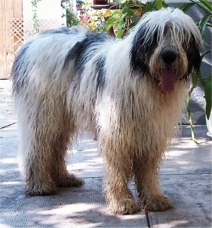 A wet, extra-large, long-coated, shaggy-looking, white with black Mioritic Sheepdog is standing on a concrete surface and it is looking forward. Its mouth is open and tongue is out.