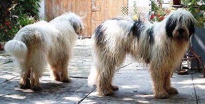 Two long-coated, shaggy-looking, large breed dogs in a backyard - A white with black Mioritic Sheepdog is facing the gate in the background. Next to it is a white with black Mioritic Sheepdog facing the right looking forward.