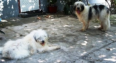 A white with gray Mioritic Sheepdog is laying on a concrete patio in front of a house. Across from it is a standing black and white Mioritic Sheepdog.