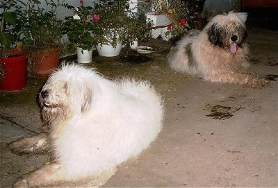 There are two Mioritic Sheepdogs laying on a porch and there is a line of potted plants behind them. The dog in the back has its mouth open and tongue out.