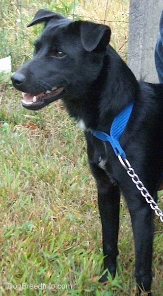 The upper half of a rose-eared, black with white Patterjack dog wearing a blue collar an chain leash standing in grass and looking to the left. Its mouth is slightly open. There is a wire fence behind it.