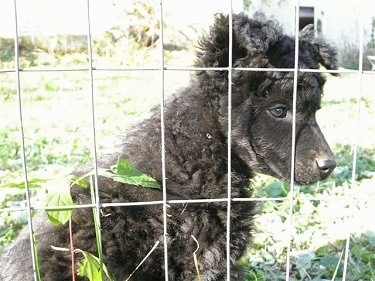 A curly-coated black Mudi puppy is sitting in grass in front of a wire fence looking out.