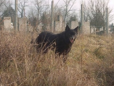 A black Mudi dog is standing in unkempt grass, its mouth is open. Behind it is a cemetary.