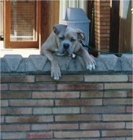 A tan Mastiff puppy is jumped up with its front paws and upper body over the top of a brick wall.
