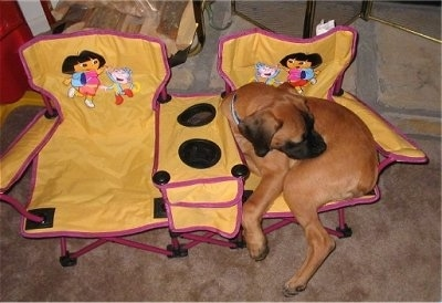 A brown with black Nebolish Mastiff is laying in a double wide yellow and pink Dora the Explorer lawn chair that has cup holders in the middle.