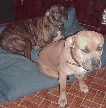 Two extra large dogs on a dog bed - A brindle Nebolish Mastiff is laying on a pillow and sitting on the edge of a pillow is a tan Nebolish Mastiff looking forward.