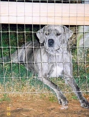 A grey with black Nebolish Mastiff is laying in grass behind a wire fence with its front paws sticking out of the bottom.