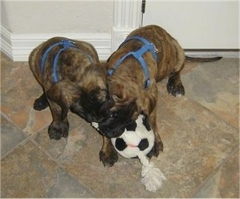 Two brindle Nebolish Mastiff puppies are both wearing blue harnesses biting a rope toy with a soccer ball in the middle on a brown tiled floor.
