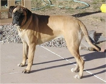 Side view - A tan with black Nebolish Mastiff is standing across a concrete surface looking forward.
