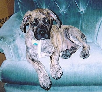 A brown brindle Nebolish Mastiff puppy is laying in an arm chair looking forward.