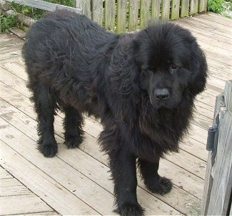 Front side view - A large, furry, black Newfoundland is standing on a wooden deck and it is looking down and forward.