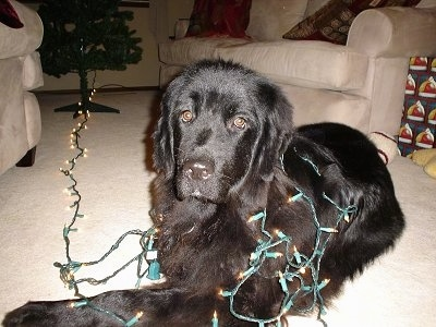 Front side view - A large-breed, black Newfoundland dog is laying in the middle of a living room and it has a lit Christmas tree lighting fixture wrapped around it.