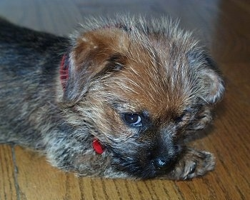Close up side view head and upper body shot - A fuzzy looking, black with red Norfolk Terrier puppy is laying down on a hardwood floor looking forward.