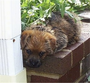 A black with tan Norfolk Terrier puppy is laying on a small brick wall with its head over the edge.