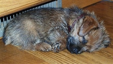 A fuzzy looking, black with ted Norfolk Terrier puppy is sleeping on a hardwood floor.