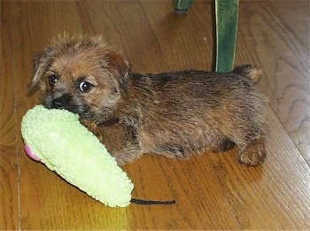 A fuzzy looking short legged, black with tan Norfolk Terrier puppy is standing on a hardwood floor with a green plush toy in its mouth