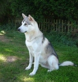 Side view - A white with black and tan Northern Inuit dog is sitting outside looking to the left.