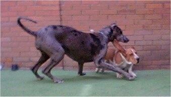 A brown with white Basset Hound is running on a green surface with its ear flying out to the side. Next to it is a Great Dane jumping over top of it.