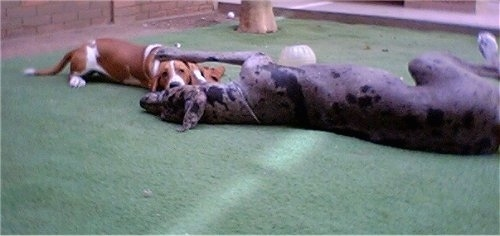A Basset Hound and a Great Dane are laying on a green surface and pawing at each other. The larger dog has its huge paw on top of the smaller dogs head.