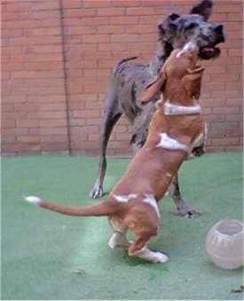Basset Hound is jumping up on its hind legs at a larger Great Dane ...