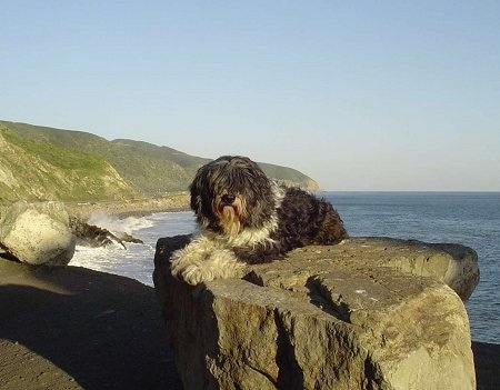 A black with white Polish Lowland Sheepdog is laying on a rock and it is looking forward. The Pacific Ocean is in the background.