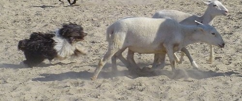 A black with white Polish Lowland Sheepdog is running behind two shaved sheep on sand.