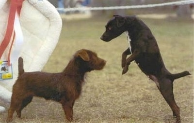 A chocolate Patterdale Terrier dog is standing in grass and in front of it is a black with white Patterdale Terrier. It looks like it is preparing to jump over the chocalate Patterdale Terrier. There is a white dog bed crate liner hanging up behind them.