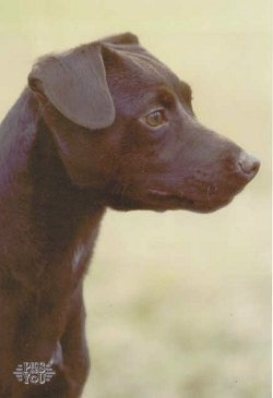 Close up side view head shot - The head of a chocolate Patterdale Terrier is standing in grass and it is looking to the right.