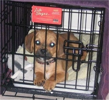 Front view - A brown with black and white Peagle puppy is laying in a closed black wire dog crate that is covered in a purple blanket  looking forward.