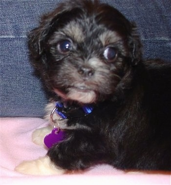Cookie the Peke-A-Chon, Her mother was a Bichon and her father was a Pekinese. She is approx. 6 weeks in this picture