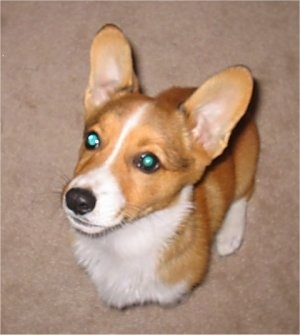 Top down view of a tan with white Pembroke Welsh Corgi puppy is sitting on a ta carpet looking up and to the left.