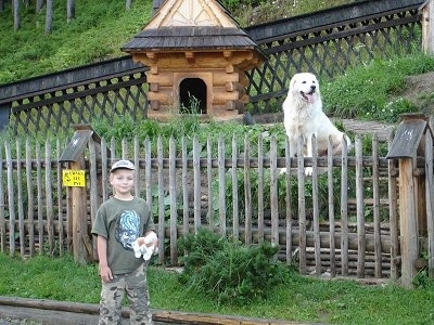 A white Polish Tatra Sheepdog is sitting on a rock behind a wooden fence. There is a boy standing on the other side.