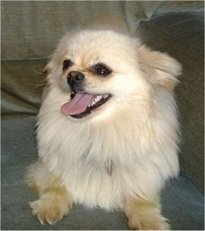 Jessy is a 2 year old Pomchi cross