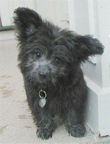A black with white Pomapoo puppy is standing on a carpet next to a wooden cabinet. Her head is tilted to the right and her ears are out to the sides with a lot of fluffy fur on them.