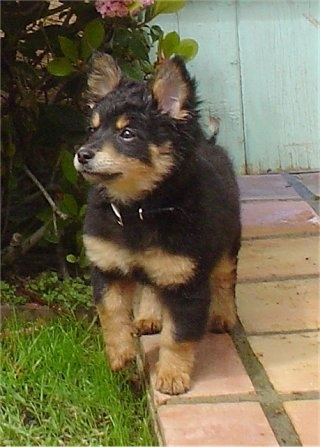 A fuzzy, black with tan Pomapoo puppy is standing on a brick tiled walkway and it is looking up and to the left.