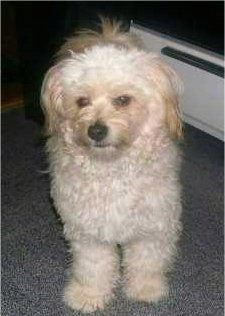 A wavy-coated, white Pomapoo is standing on a carpeted floor and it is looking to the left.