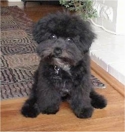 Front view - A fuzzy black Pomapoo is sitting on a hardwood floor and it is looking forward. Its head is slightly tilted to the right.