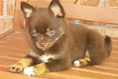 Mocha, the Pomchi puppy at 8 weeks old. Her mom is a Pomeranian and her dad is a Chihuahua
