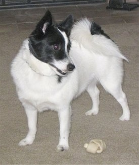 A white with black Pomchi is standing on a carpet and it is looking to the right. There is a dog bone next to it.