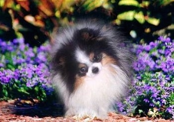 Close up - A fuzzy black with tan and white Pomeranian is standing in a purple flower bed and its head is tilted to the left.