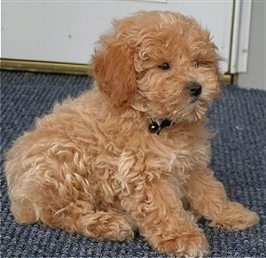 Side view - A tan Miniature Poodle puppy is sitting on a blue carpet in front of a door. The dog looks like a stuffed toy.