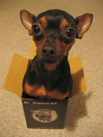 A black and brown Prague Ratter dog is in a small box with its upper body poking out.