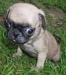 Close up - A tan with black Pug puppy is sitting in grass and it is looking down. It has a big head compared to its body and its eyes are buldging out of its head.