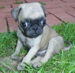 Close up - The left side of a tan with black Pug puppy is sitting in grass and it is looking down and forward. There is a brick walkway behind it. It has a big head compared to its body and its eyes are buldging out of its head.