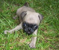 Close up front view - A tan with black Pug puppy is laying in grass and it is looking forward. It has a big head compared to its body and its eyes are buldging out of its head.