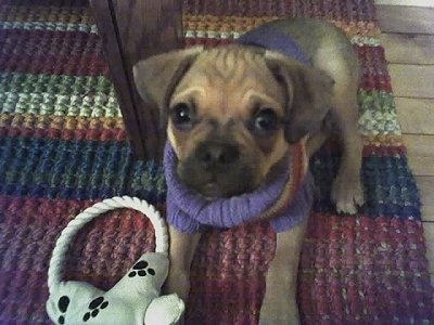 A tan with black Puggat puppy is laying on a throw rug under a table and it is wearing a colorful sweater. There is a rope plush toy next to its front paws.