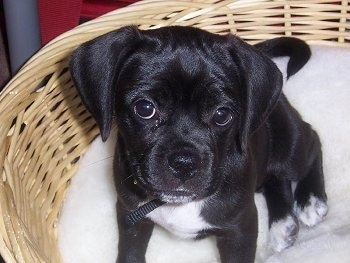 Close up front view - A black with white Puggle puppy is sitting in a wicker basket and it is looking up with its head slightly tilted to the right.