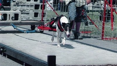 Rat Terrier Weight Pulling
