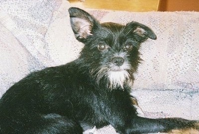 Close up side view - A scruffy looking black with white Rattle Griffon dog is laying across a white and gray couch looking at the camera. Its right ear is flopped down and its left ear is standing straight up. It is all black with a white beard and a small amount of white around its nose.