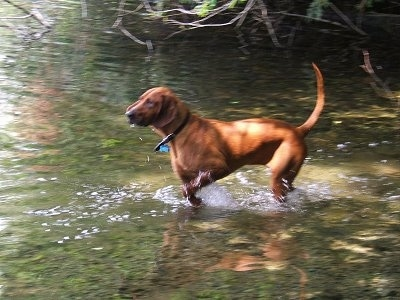 The left side of a Redbone Coonhound is running in a body of water.